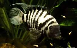 Confrm breeding pairs of convict chiclids available for sale