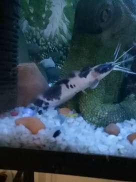 Cat fish pair