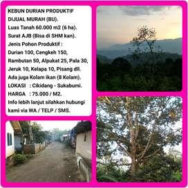 KEBUN DURIAN PRODUKTIF, INDAH & MURAH 60.019 M2, di Cikidang-Sukabumi.