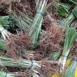 Rumput Akar Wangi Rumput Vetiver Lebih Kuat Menahan Tanah Anti Erosi