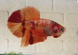 Ikan Cupang Nemo Galaxy ( Betta Fish )