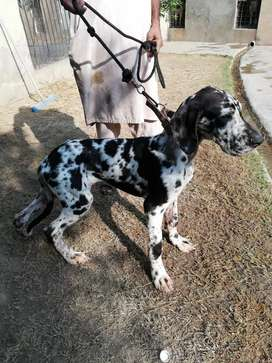 A friendly GREAT DANE pair looking for new home