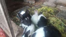 Rabit bunny for sale