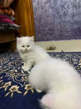 Best quality kittens available best price