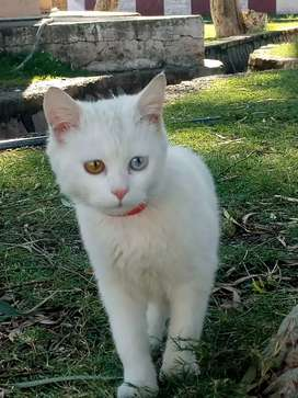 Pure white russion cat different eyes