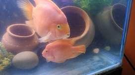 KING Kong ParrotFish Pair