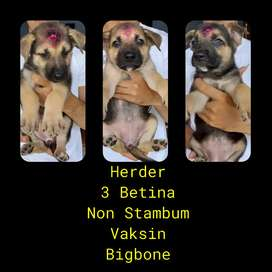 Anjing Herder Non Stambum