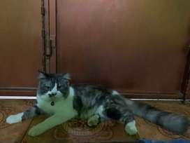 Kucing' Persia flatnose