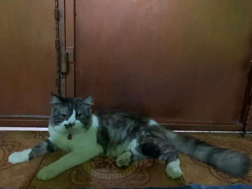 Kucing' Persia flatnose 0