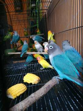 Burung lovebird biru cobalt promo murah banget