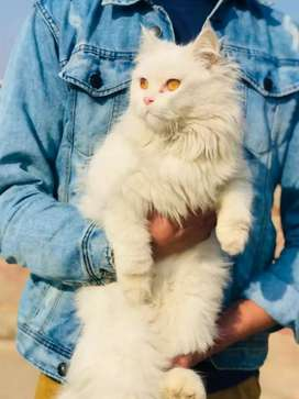 I want sale this cat