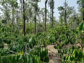 3.75 acre coffee  land in Mananthavady  municipality