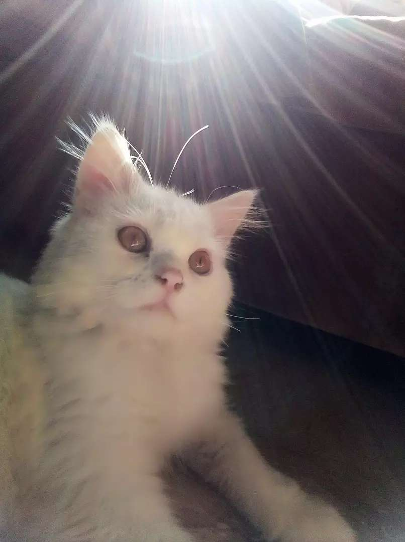 Pure persian tripple coated punch face male 0