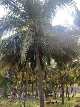 Coconut farm/agriculture land/agricultural land/land/farm land/house