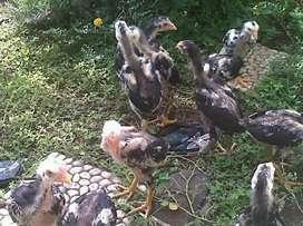Anakan Ayam Bangkok Thailand import ori
