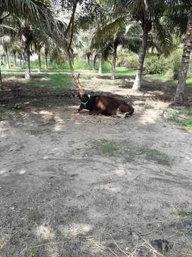30 Acre Coconut farm for sale near kadiyur