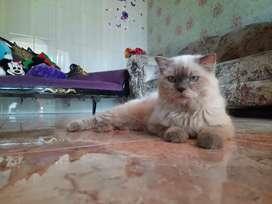 Kucing Himalayaa Lucu