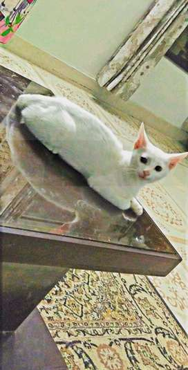 turkish cat withe colour