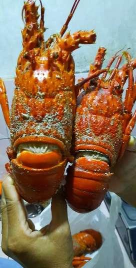 Lobster Laut/ Pasir
