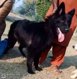 Show winner black German sheferd male of 11 month age is for sale