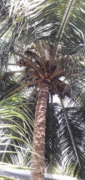 Organic whole coconut from trees Rs 15 each