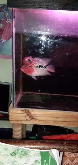Red dragan Flowerhorn