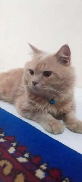 Kucing Persiaan