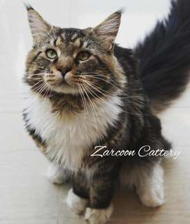 Maine coon Pure Breed Ped CFA