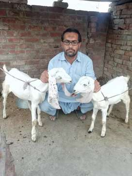 Sell my 2goats
