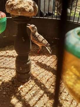 Burung branjangan parva rajin bunyi ngeplong