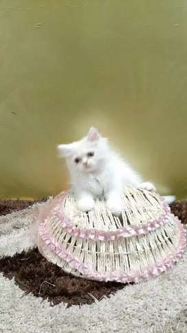 Pure persian kitten for sell
