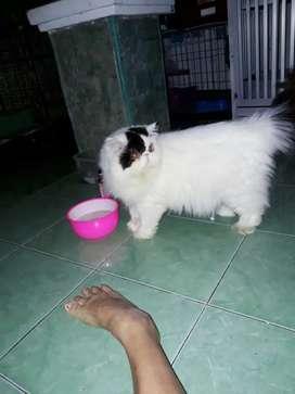 Pacak kucing persia peaknose PED