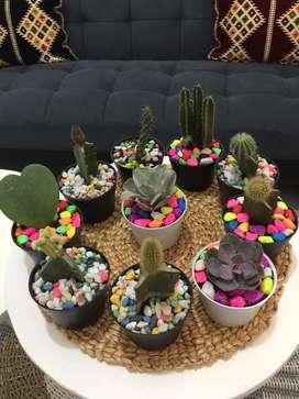 Kaktus sekulen balikpapan
