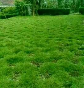 Tukang taman Cibubur bsd Pondok indah jual rumput jepang
