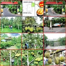 Tanah Murah Produktif Bonus Rumah Joglo & Kebun Durian di Magelang