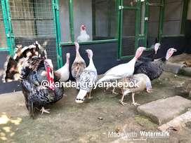 Ayam kalkun dewasa indukan