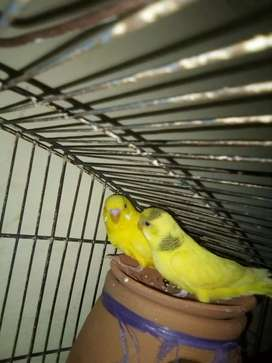 Austrlin parrot for sale with cage