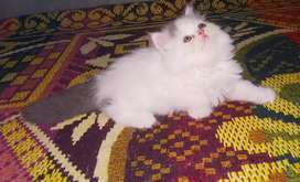 Pure breed punch face Persian kittens