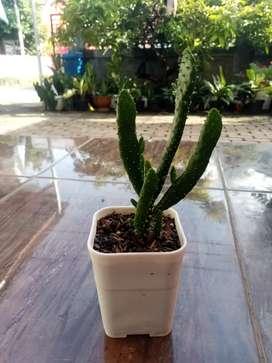 Kaktus Cemara Size L
