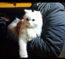 Percian cat triple cot white eyes with pedigree pasport