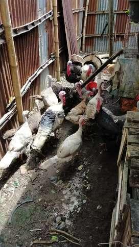 Ayam kalkun remaja dan indukan