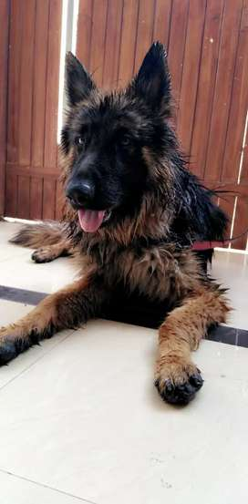 Fir GSD Lovers Age:1 year and 8 month