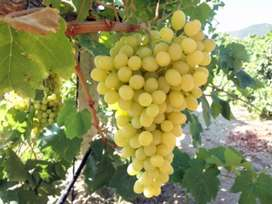 Grapes Plants for Sale