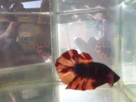 Ikan cupang hias Emerald black fire