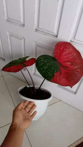Caladium baret tanaman hias