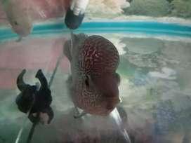 Flowerhorn Sale male size 4 inchi kml