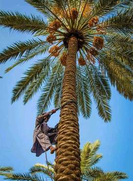 Khairpur Dates (khajoor) and Date palm trees