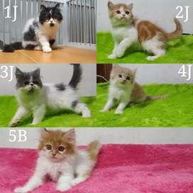Kitten Persia peaknose, Flatnose jantan dan betina
