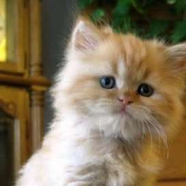 Persian kitten and cats available