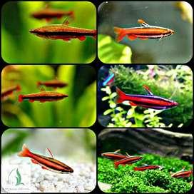 Ikan redpencil tetra untuk aquarium dan aquascape